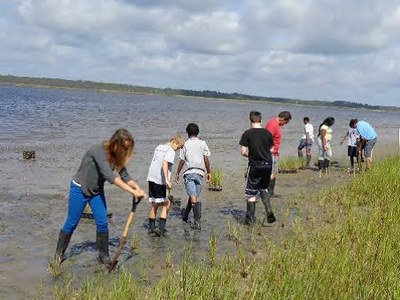Volunteers planting spartina